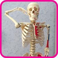 Модель скелета арт. 3302-1